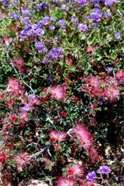 Calliandra eriophylla and Phacelia distans - Fairy Duster and Scorpionweed