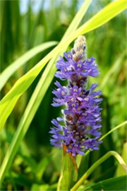 Pontederia cordata - Pickerelweed