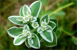 Euphorbia marginata - Snow on the Mountain Wildflower