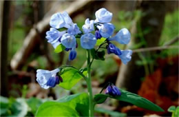 Mertensia virginica - Virginia Bluebell