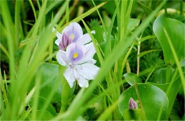Eichornia crassipes - Water Hyacinth