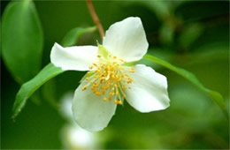 White Wildflower