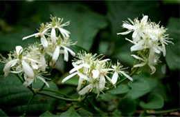 White Vine Wildflower