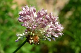 Allium vineale - Wild Onion Flower