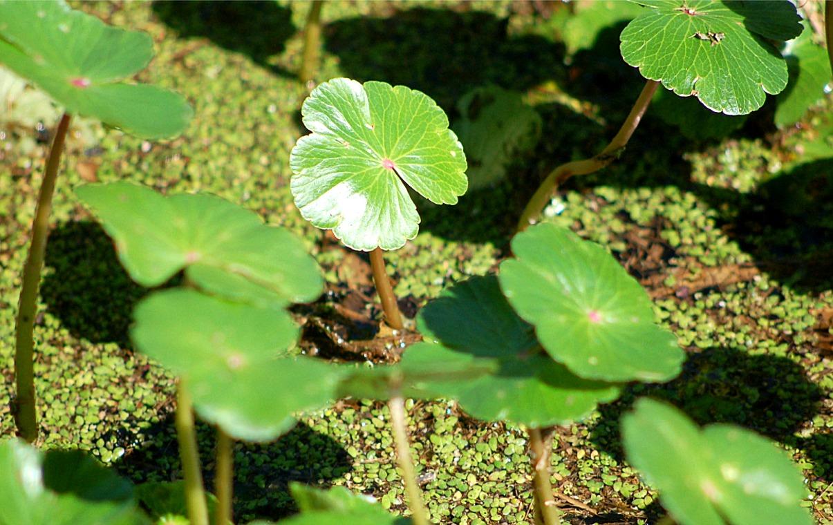 aquatic plants - Bing images