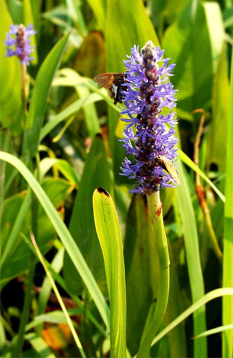 EduPic Aquatic Plant Images
