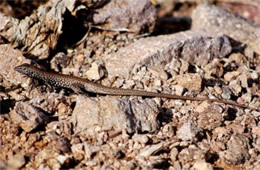 Cnemidophorus dixoni - Gray-checkered Whiptail