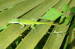 lizard on palmetto fronds