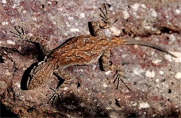 Urosaurus ornatus - Ornate Tree Lizard