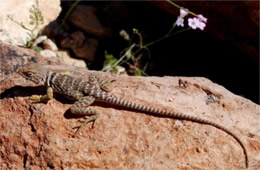 Crotaphytus nebrius - Sonoran Collared Lizard