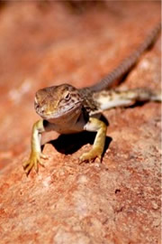 Sonoran Collared Lizard