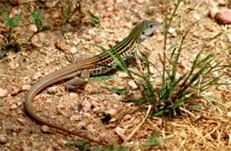 Cnemidophorus gularis - Texas Spotted Whiptail