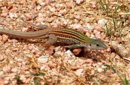 Cnemidophorus gularis - Texas Spotted Whiptail Lizard in Motion