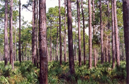 Pine and Palmetto Forest