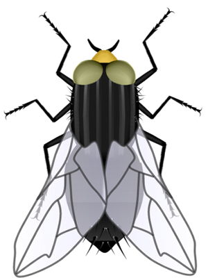 Adult Fly