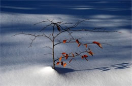 Small Tree in the Snow