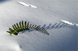 Fern in the Snow