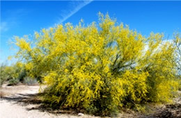 Parkinsonia florida - Blue Palo Verde Flowers