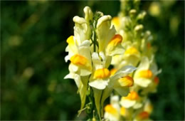 Linaria vulgaris - Common Toadflax