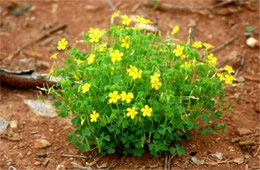 Oxalis stricta - Common Yellow Woodsorrel