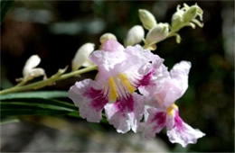 Chilopsis linearis - Desert Willow Flower