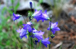 Campanula rotundifolia - Bluebell Bellflower