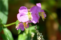 Rhexia virginica - Meadow Beauty