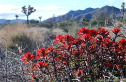 Castilleja sp. - Indian Paintbrush
