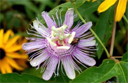 Passiflora incarnata - Passion Flower Vine