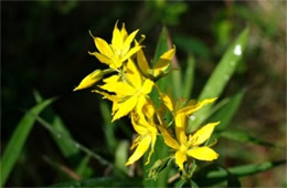 Lysimachia asperulaefolia - Rough-leaved Loosestrife