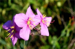 Rhexia alifanus - Savannah Meadow Beauty