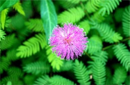 Mimosa strigillosa - Sensitive Plant