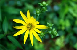 Helianthus decapetalus - Thin-leaved Sunflower