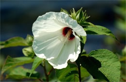 Hibiscus moscheutos - Swamp Rose Mallow