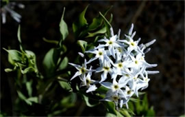 Amsonia tomentosa - Woolly Bluestar